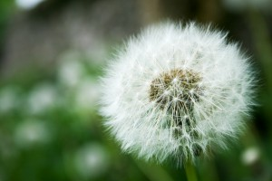 The Dandelion Clock